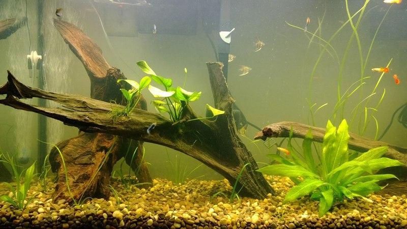 Каряги в домашнем аквариуме
