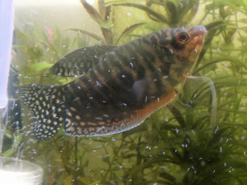 Ожирение у рыбки приводит к тяжелым нарушениям в работе пищеварительного тракта