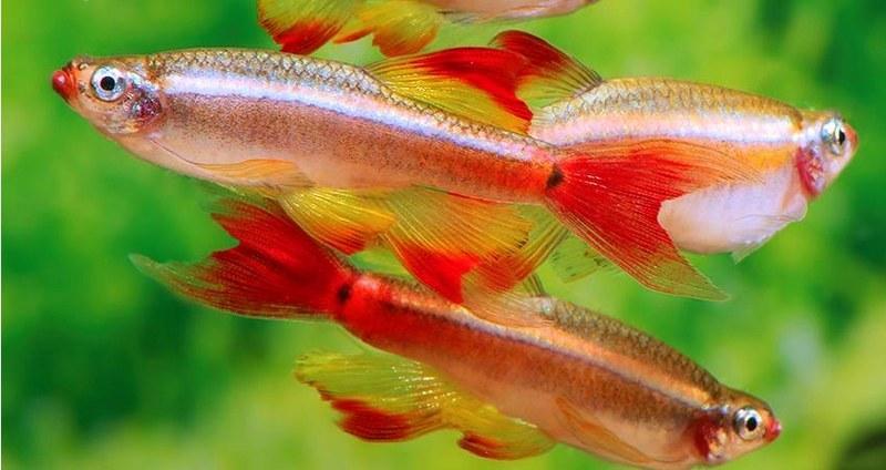 Перед нерестом самцы демонстрируют плавники и яркую окраску, свидетельствующую о готовности размножаться