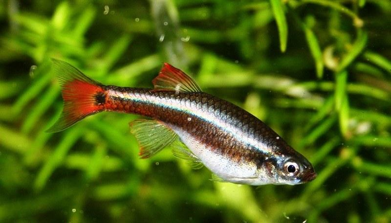 Продолжительность жизни в аквариуме составляет 1,5-2 года