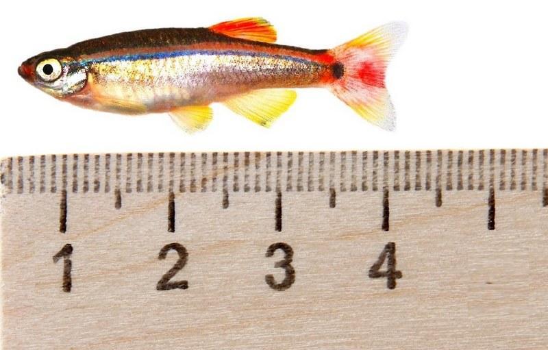 Размер рыбки составляет 4 см