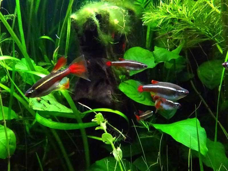 Рыбку можно встретить в небольших реках и ручьях с медленным течением