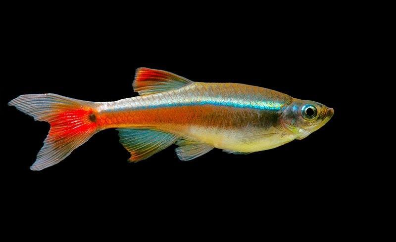 Тело у рыбки вытянутое, бронзово-коричневого цвета