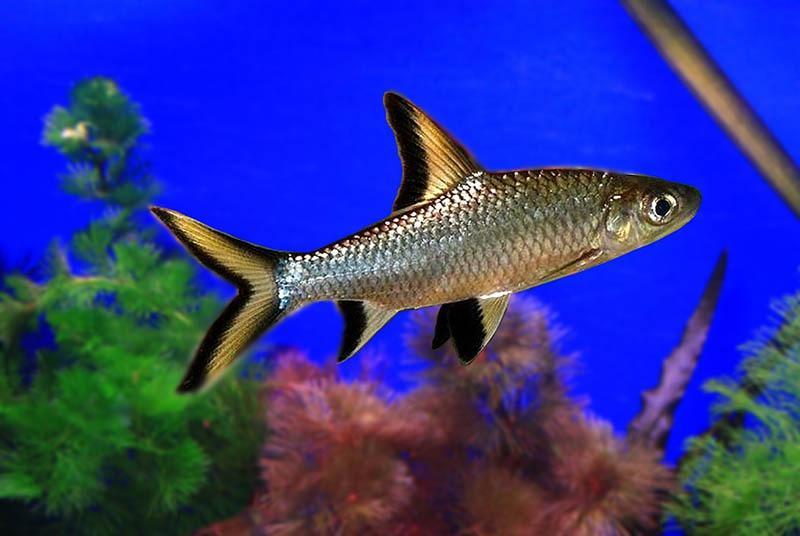 В условиях дикой природы рыбка обитает в речках, ручьях и озерах Юго-Востока Азии с пресными водами и сильными течениями