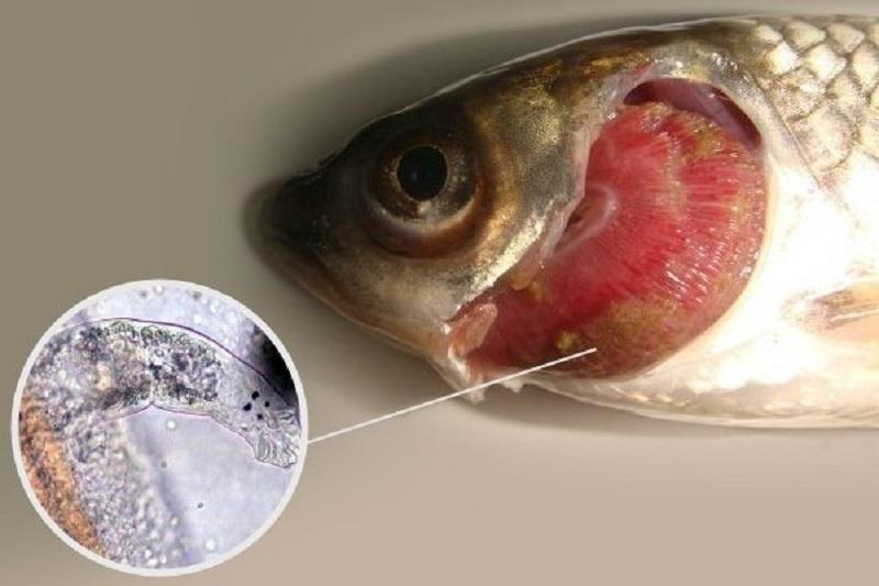 Жаберная гниль - опасное заболевание, которое может привести к гибели питомца