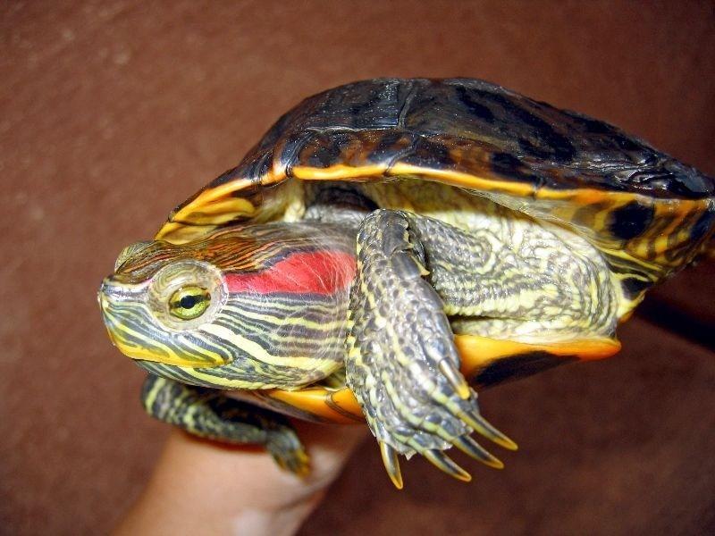 Красноухие черепахи в картинках
