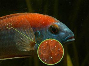 Поражение рыбы ихтиофтириозом