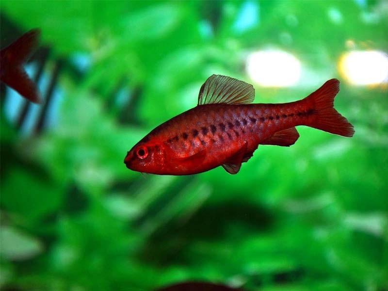 Вишневый окрас барбусов смотрится в аквариуме ярким и насыщенным