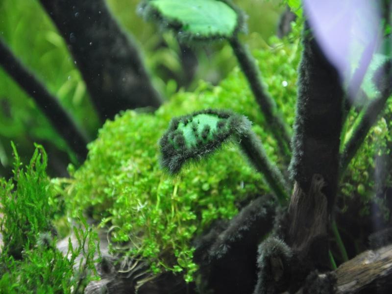 черная борода в аквариуме картинки