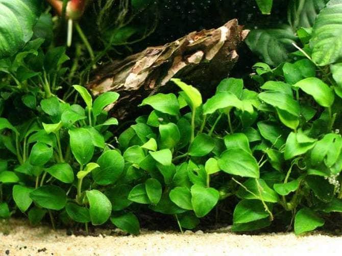 Анубис отлично подходит для аквариума