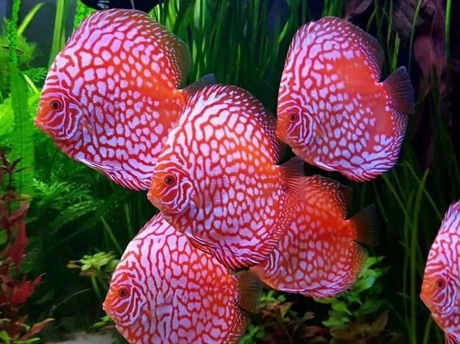Дискус - рыбка из рода Symphysodon