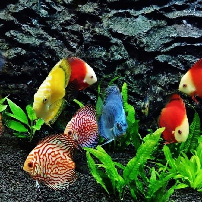 Для размножения необходима стая из 6-8 рыбок