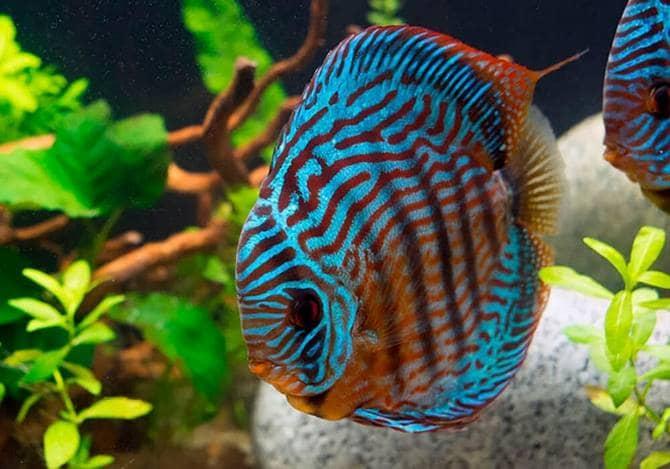 Для нереста в аквариуме должны быть растения с широкими листьями или коряги