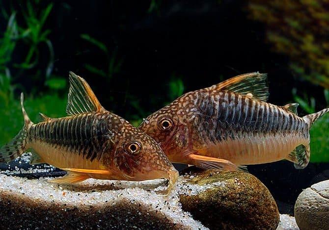 Оптимальный объем аквариума для этих рыбок равен 50-60 литрам