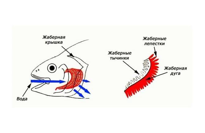 Дыхательным органом рыбы являются жабры