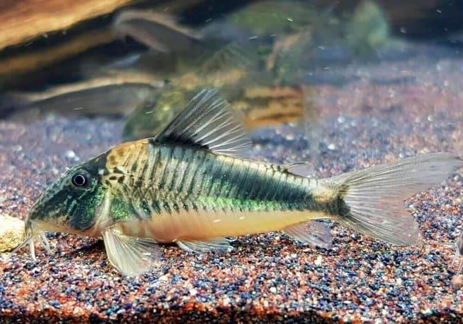 Грибок у рыбок появляется на теле или плавниках