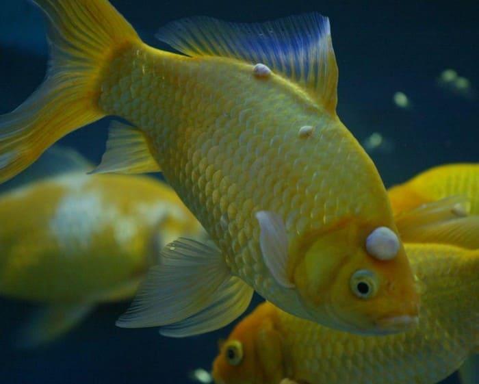 Лимфоцитоз у аквариумных рыбок