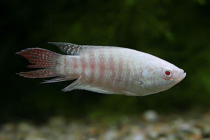 Макропод-альбинос