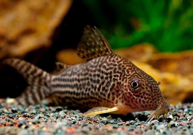 Отравление у рыбок происходит из-за собственных токсинов