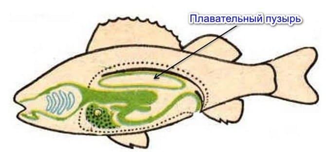 Плавательный пузырь наполнен воздухом и обеспечивает плавучесть рыбе