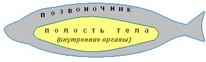 Полость тела костных рыб