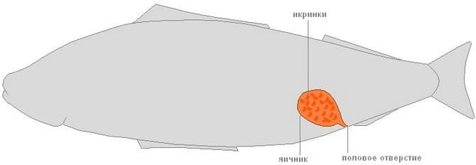 Половая система рыбы