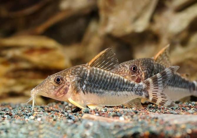 К размножению рыбки готовы к 1-2 годам жизни