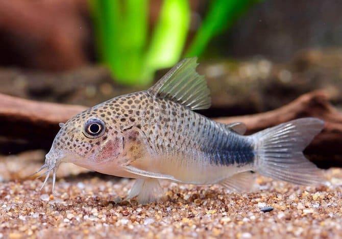 Реки Амазонки и Ориноко являются естественной средой обитания для этих рыбок