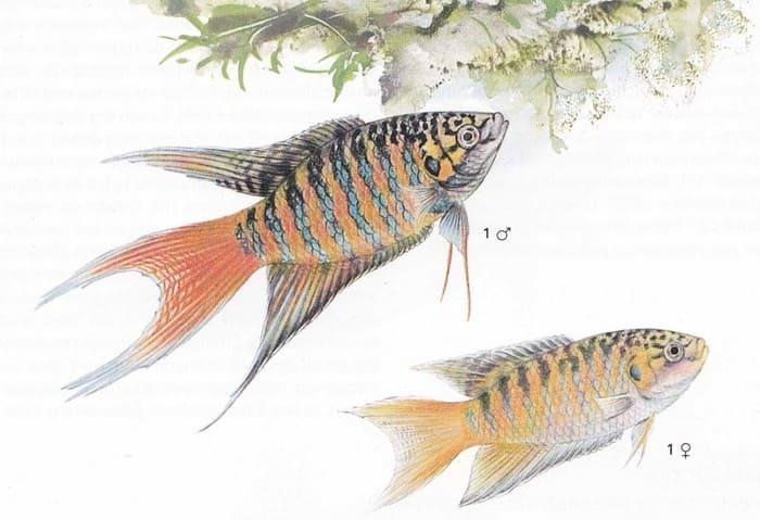 Самец и самка рыбка макропод