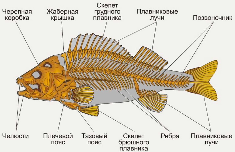 Скелет костной рыбы на примере окуня