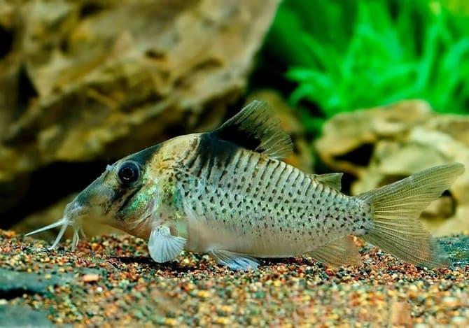 Эти рыбки отличаются крепким иммунитетом