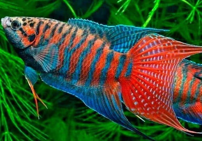 Внешний вид рыбки макропод