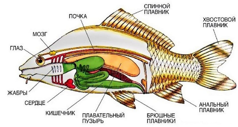 Внетреннее строение костной рыбы достаточно уникальное