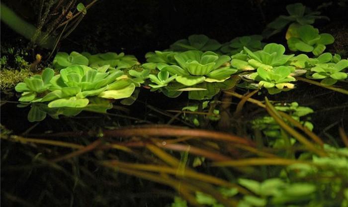 Плавающие растения, приглушающие свет