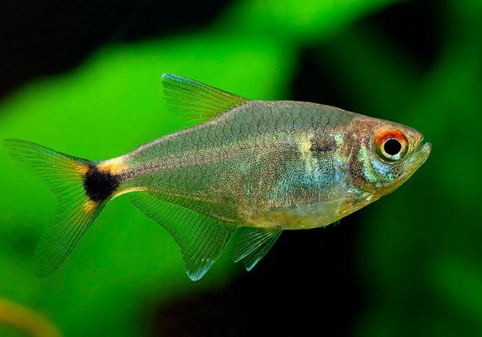 Рыбка Тетра