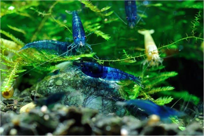Аквариум с голубыми креветками