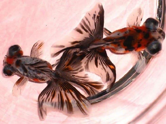 Бабочка – золотая рыбка