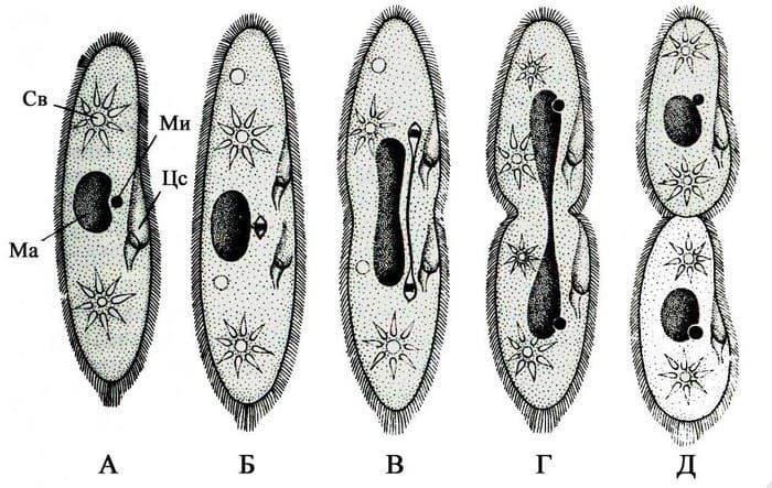 Бесполое размножение инфузории туфельки