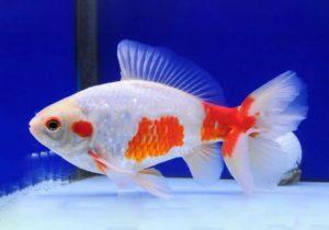 Джикин – золотая рыбка