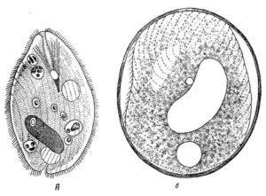 Инфузории паразиты