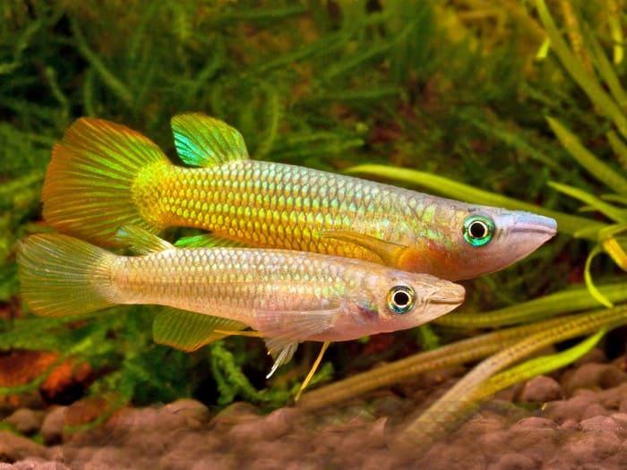 Линеатус золотой самец и самка