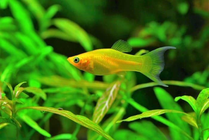 Моллинезия - аквариумная рыбка