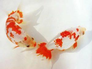 Нанкин – золотая рыбка