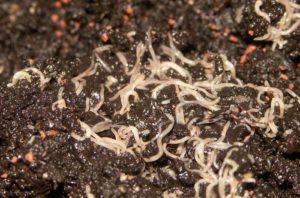 Почвенный червь энхитреус