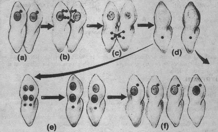 Половое размножение инфузории туфельки