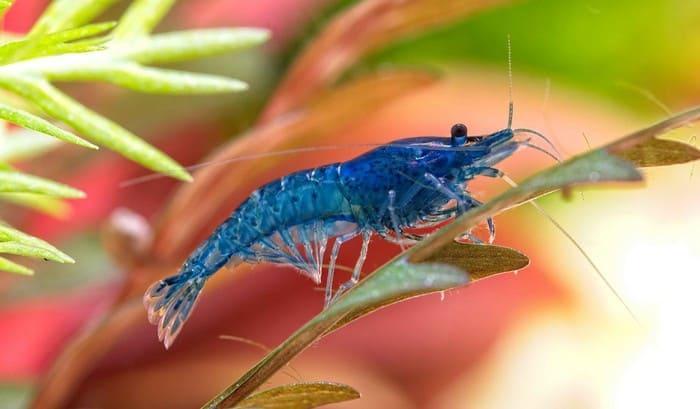 Самец голубой креветки