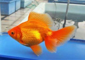 Тосакин – золотая рыбка