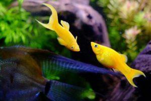 Желтые моллинезии