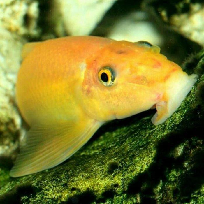 Этих золотистых рыбок не зря называют уборщиками аквариумов