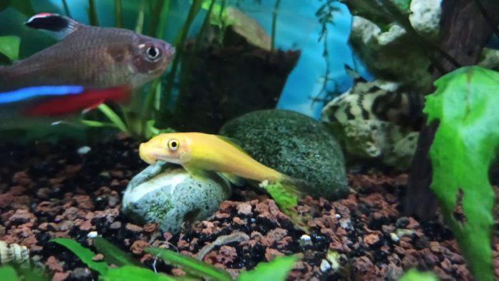 Поскольку гиринохейлус достаточно миролюбивая рыба, она отлично уживается со своими собратьями